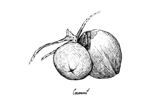 Dibujado a mano de frutas de coco sobre fondo blanco.