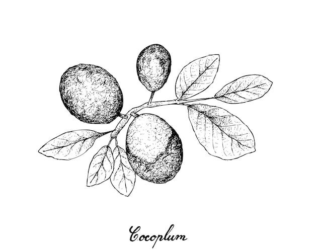 Dibujado a mano de frutas de cocoplum