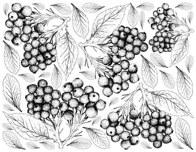 Dibujado a mano de frutos de saúco sobre fondo blanco