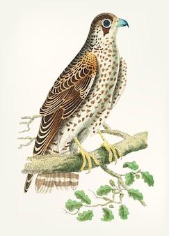 Dibujado a mano de halcon