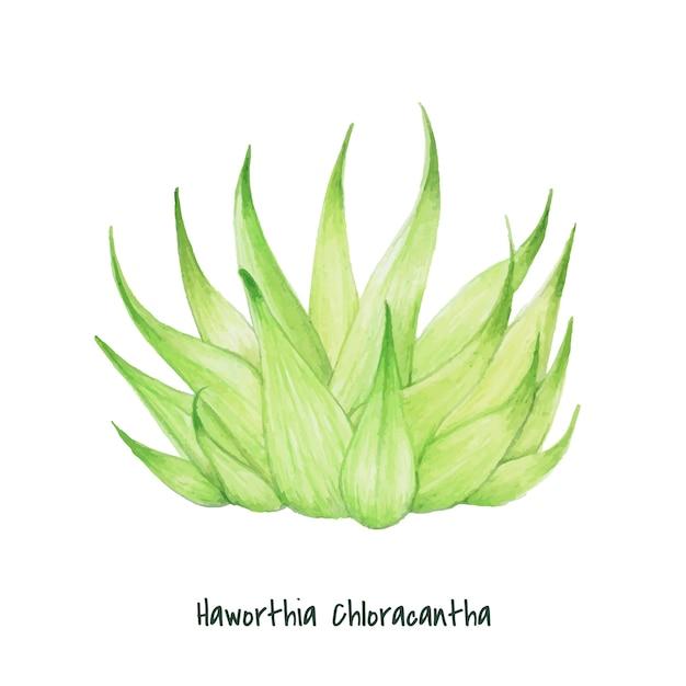 Dibujado a mano haworthia chloracantha suculenta