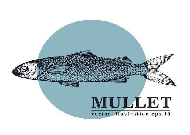 Dibujado a mano ilustración vectorial de pescado salmonete.