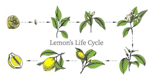Dibujado a mano ilustraciones botánicas del ciclo de vida de los limones