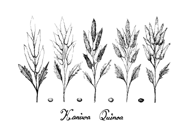 Dibujado a mano de kaniwa maduro en blanco