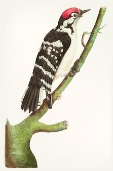 Dibujado a mano de pájaro carpintero manchado menor
