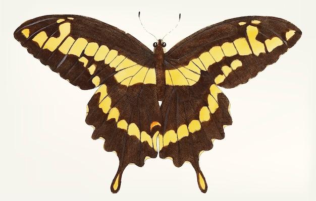 Dibujado a mano de papilio negro-marrón