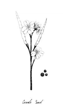 Dibujado a mano de vaina de canola y semillas