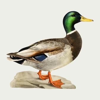 Dibujado a mano vector pato pájaro
