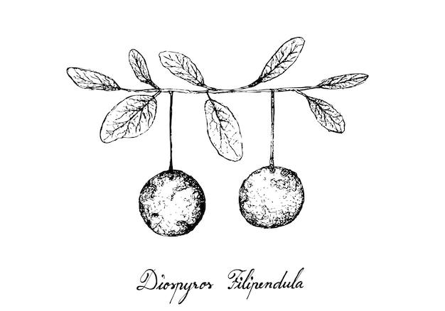 Dibujados a mano de frutas de diospyros filipendula