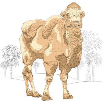 Dibujo de camello en la ilustración del desierto