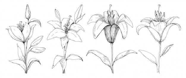 Dibujo de flores lily aislado sobre fondo blanco.