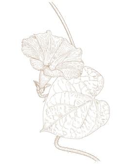 Dibujo grabado de la flor de la gloria de mañana
