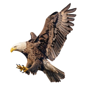 Dibujo de la mano del ataque de la redada del águila calva en el fondo blanco.