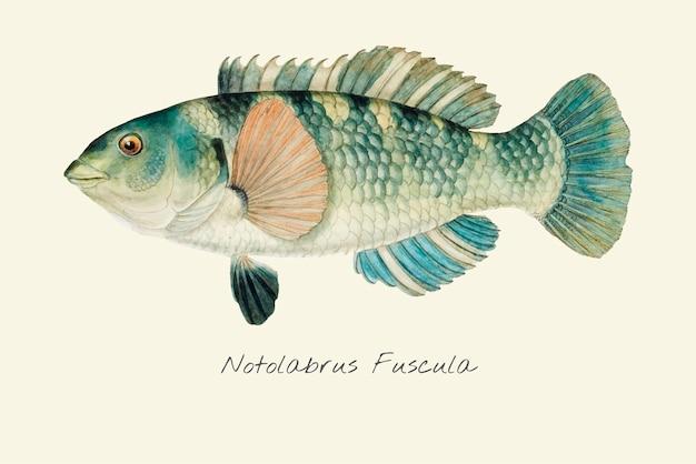 Dibujo de un pez loro congregado
