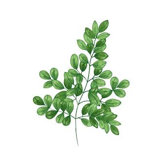 Dibujo realista natural de miracle tree o moringa oleifera.