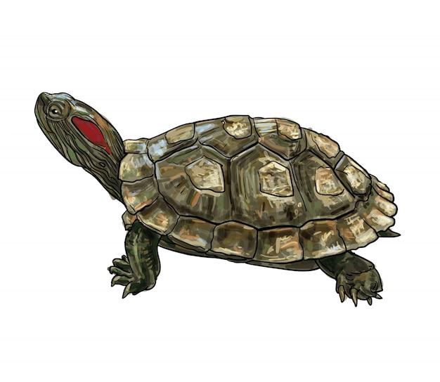 Dibujo de tortuga slider de orejas rojas (trachemys scripta elegans).