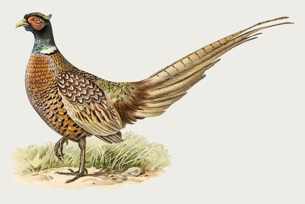 Dibujo vintage de pájaro faisán de cuello rojo