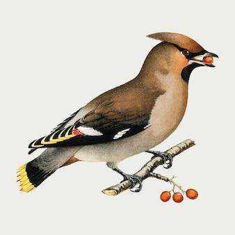 Dibujo vintage de vector de pájaro waxwing bohemio