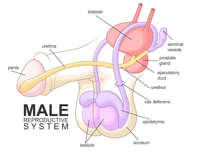 Dibujos animados de sistema reproductivo masculino