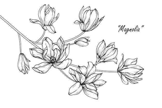 Dibujos de flores de magnolia. vintage dibujado a mano ilustraciones botánicas.