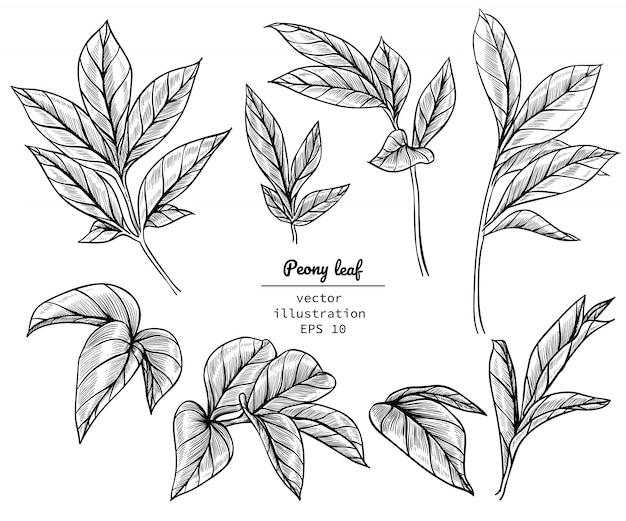 Dibujos de hojas de peonía