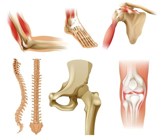 Diferentes huesos humanos