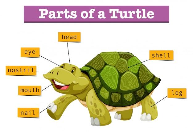 Diferentes partes de la tortuga.