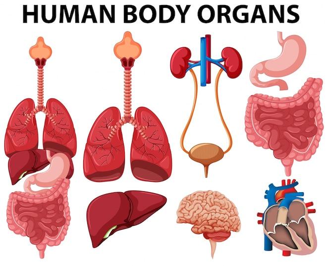 Diferentes tipos de órganos del cuerpo humano