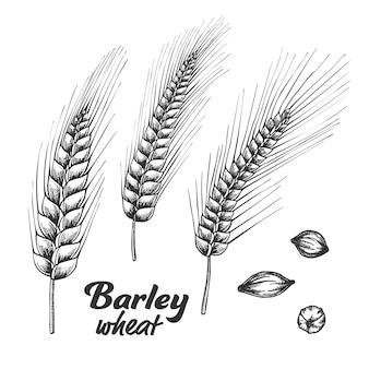 Diseñado conjunto de semillas y espiga de trigo de cebada.