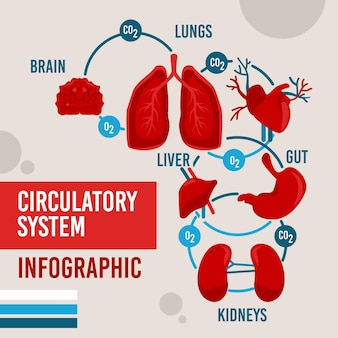Diseño plano infográfico del sistema circulatorio.