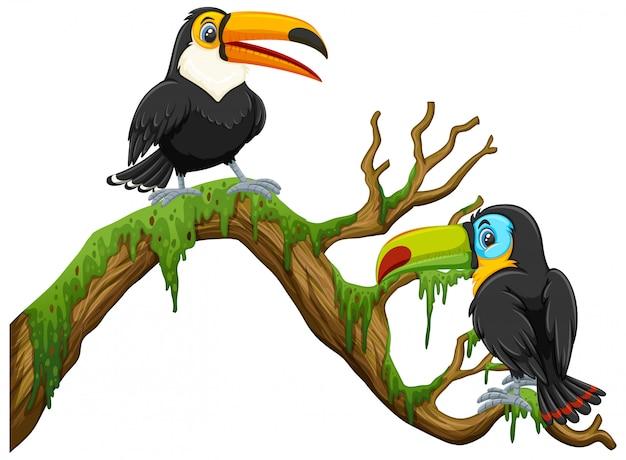 Dos pájaros tucán de pie en la rama