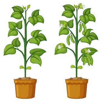Dos plantas en macetas con frijoles