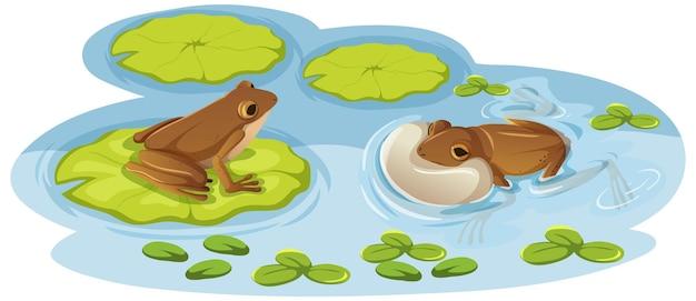 Dos ranas en hojas de loto en el agua.