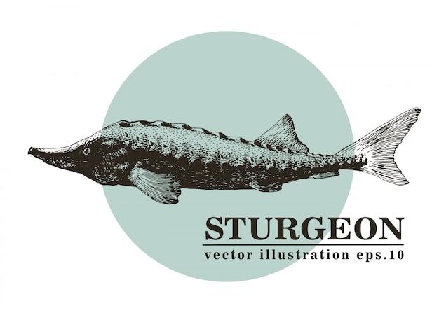 Ejemplo dibujado mano del vector de los pescados del esturión.