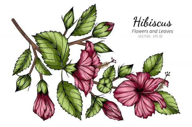 Ejemplo rosado del dibujo de la flor y de la hoja del hibisco con arte lineal en los fondos blancos.