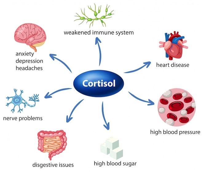 El papel del cortisol en el diagrama del cuerpo