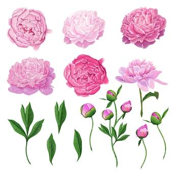 Elementos florales flores de peonía florecientes de color rosa