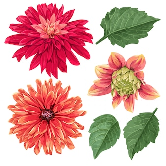 Elementos florales tropicales de las flores de los asteres rojos