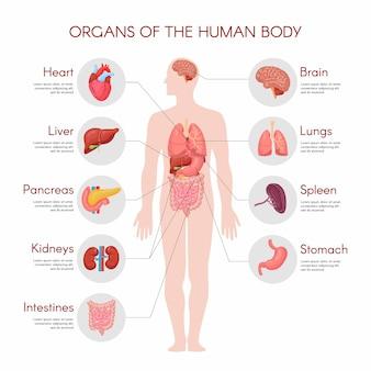 Elementos infográficos de anatomía humana con un conjunto de órganos internos aislados sobre fondo blanco y colocados en el cuerpo masculino.