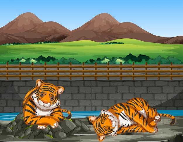 Escena con dos tigres en el zoológico.