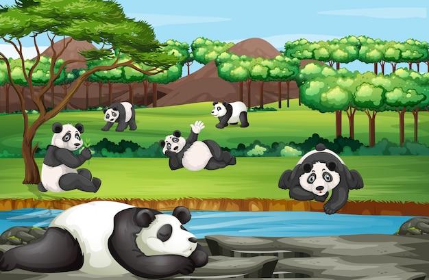 Escena con muchos pandas en el zoológico abierto