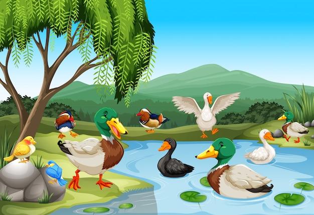 Escena del parque con muchos patos y aves.