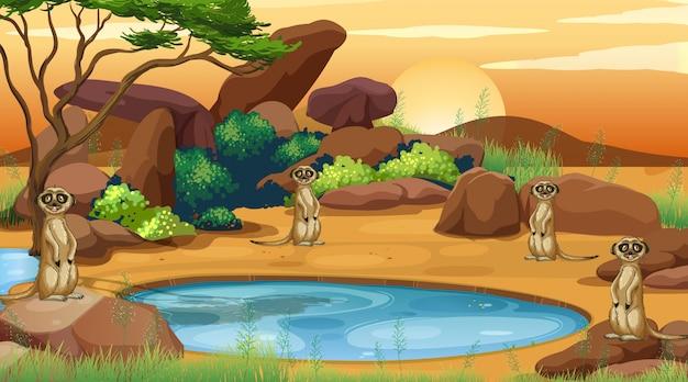 Escena con suricatas en el campo