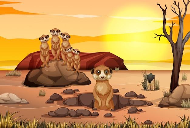 Escena con suricatas viviendo juntos en el campo de sabana