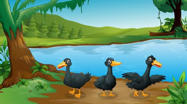 Escena con tres patos negros junto al río.