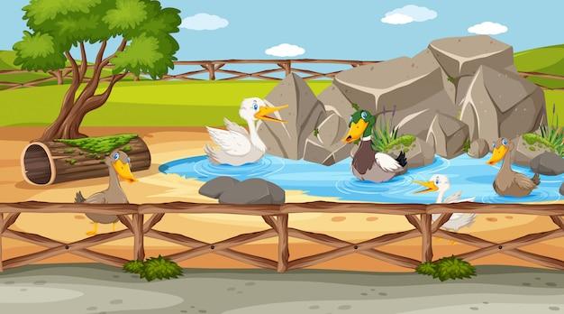 Escena del zoológico con muchos patos en el estanque