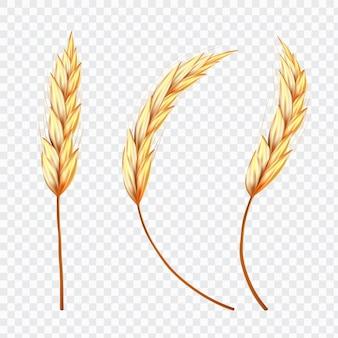 Espiga de trigo o arroz en el fondo aislado