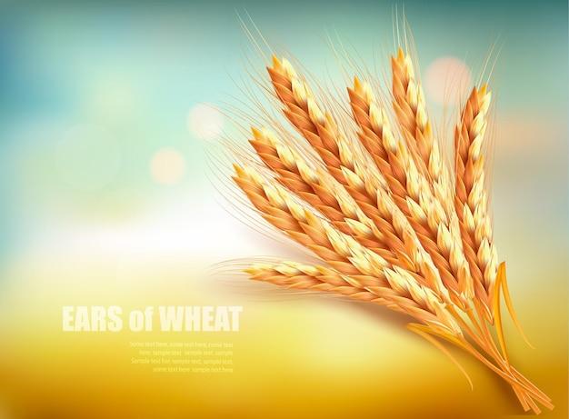 Espigas de trigo. ilustración vectorial.