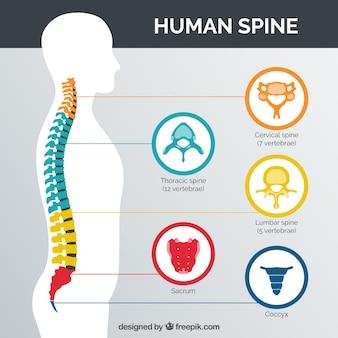 Espina dorsal humana con las partes coloreadas
