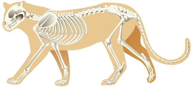 Esqueleto de leopardo sobre fondo blanco.